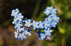 Field Forget-me-not (Myosotis arvensis) Stock Photography