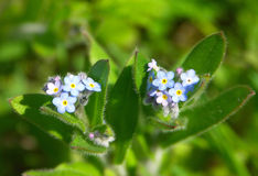 Field Forget-Me-Not Royalty Free Stock Image