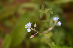 Field forget me not Royalty Free Stock Photo