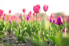 Field with fresh beautiful tulips. Blooming spring flowers stock photography