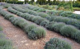 Field of fresh blooming lavender herbal plants Royalty Free Stock Images