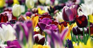 Colourful tulips in springtime sunlight Royalty Free Stock Photo