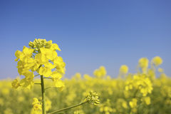 A field of Fresh flowers of the rape plant Colza, Stock Image