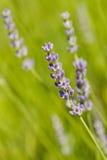 Field of fresh lavender Stock Image