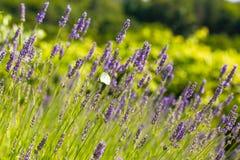 Field of fresh lavender Stock Photo