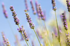 Field of fresh lavender Stock Images
