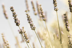 Field of fresh lavender Royalty Free Stock Image