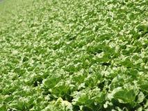 Field of fresh lettuce stock photography