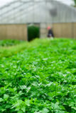 Field of fresh parsley Royalty Free Stock Images