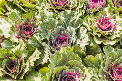 Field of fresh and ripe multicolored collard. Beautifully planted cabbage Chemicals to help them grow Royalty Free Stock Image