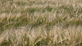 The field of fresh wheat stock footage