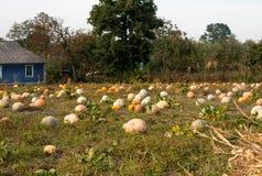 A Field of Freshly Growing Pumpkin Plants. Royalty Free Stock Image