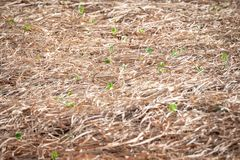 Field of freshly sown young lettuce sprouts stock photos