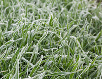 Field of frozen grass Royalty Free Stock Images