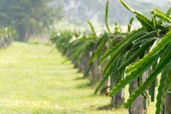 A field with fruit bushes Hylocereus Royalty Free Stock Images