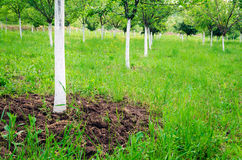 Field of fruit trees painted in white. Field of fruit trees painted in protective white Stock Photography