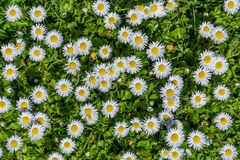 Field full of bloomed daises in bright sun Stock Images