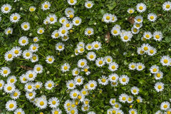 Field full of bloomed daises in bright sun. Stock Photos