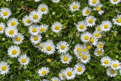 Field full of bloomed daises in bright sun. Royalty Free Stock Photography