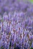 The field full of bright purple lavender flowers. The big field full of bright purple lavender flowers Stock Image