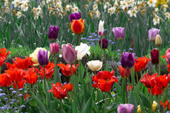 Field full of colorful tulips Stock Photos