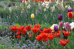 Field full of colorful tulips Royalty Free Stock Images