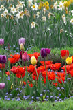 Field full of colorful tulips Stock Photography