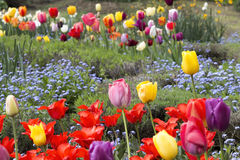 Field full of colorful tulips Stock Photo