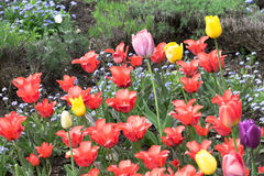 Field full of colorful tulips Stock Images