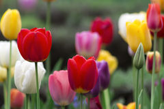 Field full of colorful tulips Royalty Free Stock Photo