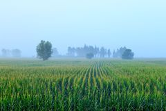 A field full of corn royalty free stock photo