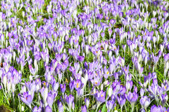 Field full of croci 3 Royalty Free Stock Photography