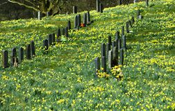 Field full of daffodils Royalty Free Stock Image