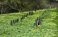 Field full of daffodils Royalty Free Stock Photo