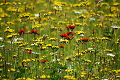 Field Full of Flowers Stock Photos