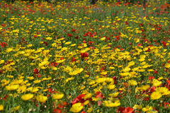 Field full of flowers (Malta). Colorful meadow with poppies and yellow flowers. Red & yellow flowers. Way to Selmun Bay Stock Image