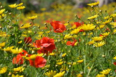 Field full of flowers (Malta). Colorful meadow with poppies and yellow flowers. Red & yellow flowers. Way to Selmun Bay Royalty Free Stock Images