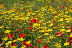 Field full of flowers (Malta). Colorful meadow with poppies and yellow flowers. Red & yellow flowers. Way to Selmun Bay Stock Images
