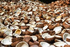 Field full of freshly broken coconuts. Field is full of coconuts that are broken in half to extract coconut water Royalty Free Stock Photography