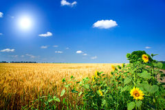 Field full of golden wheat seed. Royalty Free Stock Photography