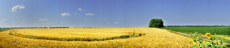 Field full of golden wheat seed. Stock Image
