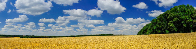 Field full of  golden wheat by summertime. Royalty Free Stock Photos