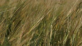 Field full of green wheat stock video footage