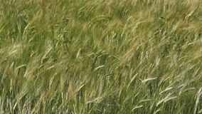 Field full of green wheat stock footage