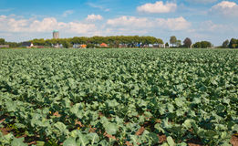A field full of growing green cabbages. A field of growing green cabbages and a small Dutch village in the background Royalty Free Stock Image
