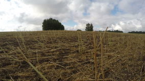 Field full of harvested rapeseed stalks, time lapse 4K. Field full of harvested rapeseed stalks on cloudy windy autumn's day, time lapse 4K stock video footage