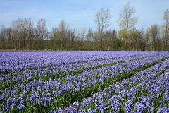 Field full of hyacinths. Royalty Free Stock Photo
