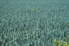 Field full of leek. Field full of green leek with some yellow flowers in it Stock Photos