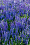 Field full of lupine flowers Stock Images