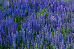 Field full of lupine flowers Stock Image